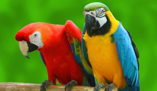 Papegaaienwandeling
